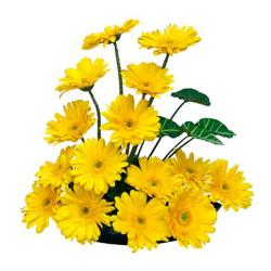 Basket of 15 Yellow gerberas