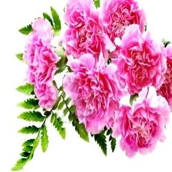 Bouquet of 6 Carnations