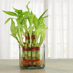 Two Layer Lucky Bamboo Indoor Plant