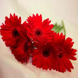 Gerberas To Hyderabad