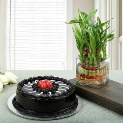 Good Luck Plant with Truffle Chocolate Cake for Sangrur